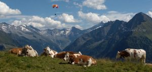 Cows glider mountain by SilverMixx