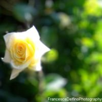 Yellow rose III by FrancescaDelfino