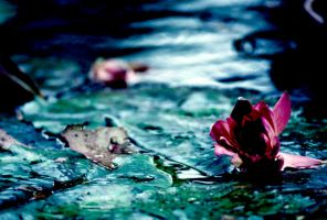 Water Lilly 37 by Art-Photo