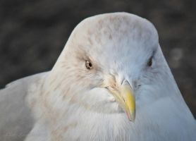 Seagull by CanonSX20