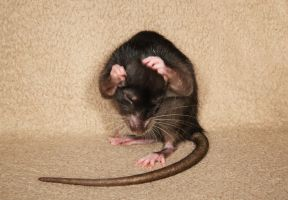 A shot of brandy - Fancy Rat Stock image 2 by NickiStock