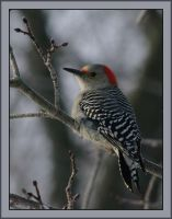 Red Bellied Woodpecker Female by barcon53