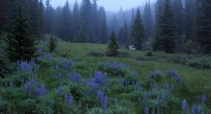 South Fork Lupines by wyorev