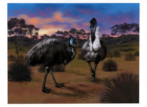 Courting Emus by oxpecker