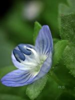Field Speedwell by iriscup