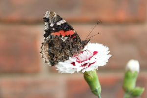 Red Admiral Butterfly2 by Lynxwing