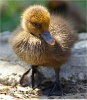 Baby Duck by CapturedCosmicDebris