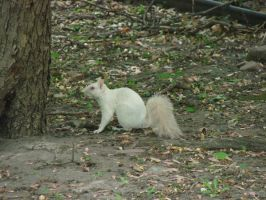 White Squirrel Stock 2 by Ahyicodae-stock
