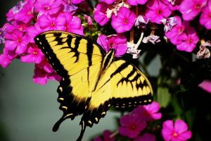 Tiger Sallowtail and its Flowe by Lynalee