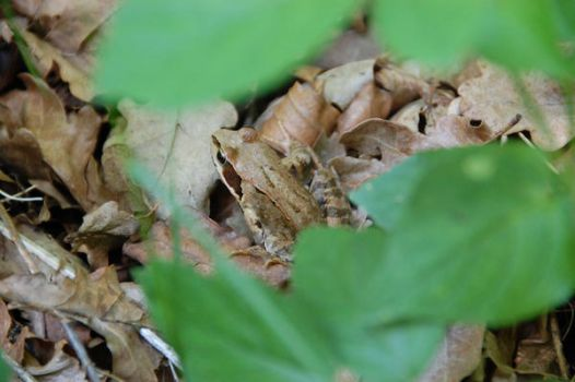 a brown frog in the grass by morfeuscor