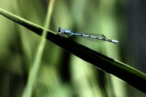 Tule Bluet 2 by S-H-Photography