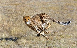 cheetah motion contest by olsenbande76