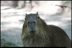 Capybara face by Lunchi
