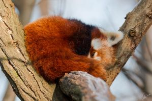 Red Panda by ChristopherMarx
