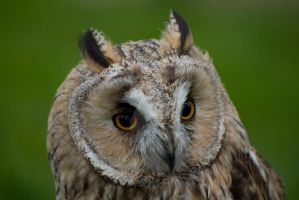 fluffy owl by photographybypixie