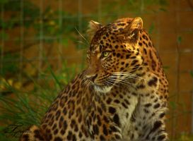 Chinese Leopard by PhotosThyria