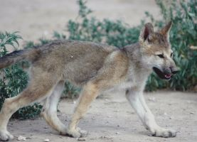 Walking wolf cub by Nieme
