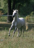 Gray Horse 5 .:Stock:. by Photopolis