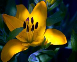 Yellow Lilly by existentialdefiance