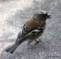 Chaffinch / Buchfink 2 by bluesgrass
