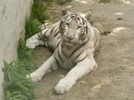 White Tiger 02 by animalphotos