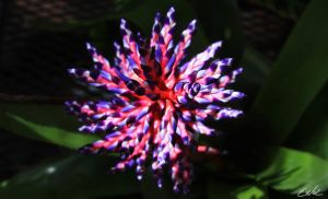 Pink Purple Star by wolmers