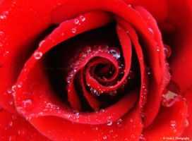 Red Rose with Dew Drops by lindahabiba