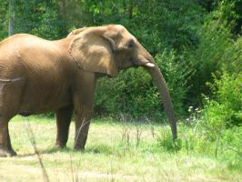 Elephants Nashville Zoo 2012 4 by TheNormal1