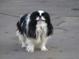 Japanese Chin 1 by Panopticon-Stock