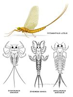 Mayflies by jrtracey