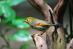 red-billed leiothrix 1.4 by meihua-stock