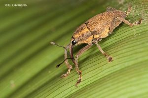 Yellow weevil by dllavaneras