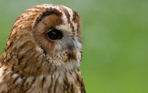 Owl in Profile by The-Aperture