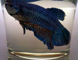 Glamour Adoption Shot for a Betta by AllHailZ
