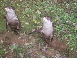 Otters by astateofconfusion