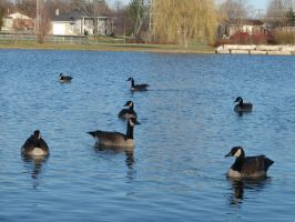 Canadian Geese4 by Dreamweaver38