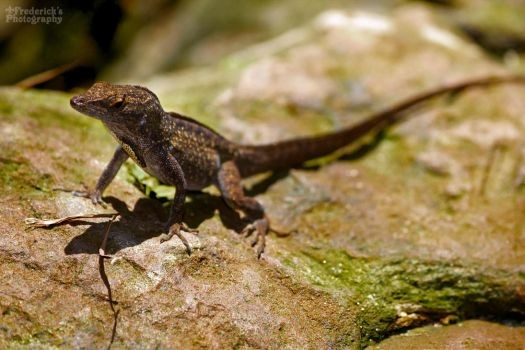 Brown Anole (Anolis sagrei) by frutor83