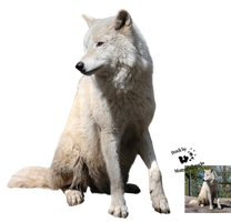 Cut-out stock PNG 116 - quiet white wolf by Momotte2stocks