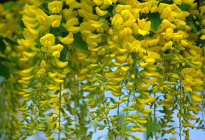 Laburnum*watereri 'Vossii' by cheah77