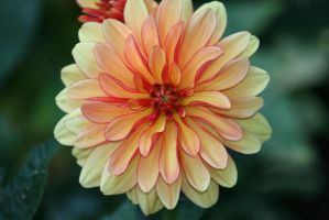 dahlias in flora garden 24 by ingeline-art