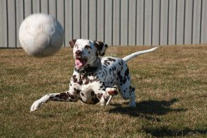 My dalmation by svennis82