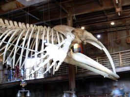 Southern Right Whale Skeleton 2 by Confussed-Stock
