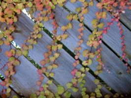 Trailing Autumn Vines on Fence by SweetSoulSister