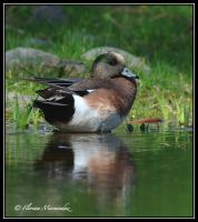 American Wigeon by Ptimac