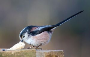 Long Tailed Tit - just a crust will do by Steve-FraserUK