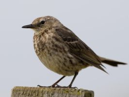 Rock Pipit - Anthus petrosus by WestLothian