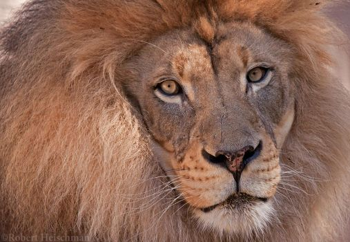 African Lion 1112 by robbobert