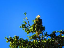 Eagle Waiting In A Tree by wolfwings1