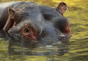 Hippopotame by The-Underwriter