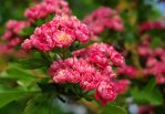 pink blossom tree--2 by cheah77